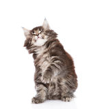 Playful maine coon cat looking up. isolated on white background Royalty Free Stock Photography
