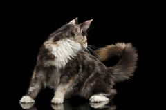 Playful Maine Coon Cat Looks at his Tail,  Black Stock Photography