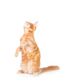Playful maine coon cat standing on hind legs and looking up. iso Royalty Free Stock Photos