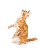 Playful maine coon cat standing on hind legs in profile and look Royalty Free Stock Images