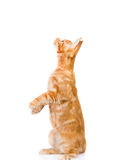 Playful maine coon cat standing on hind legs in side view and lo Royalty Free Stock Photo