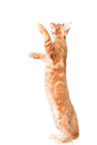 Playful maine coon cat.  on white background Stock Photography