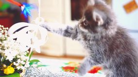 Playful Maine Coon kitten blue colored sits near the basket with beautiful flowers. 1920x1080 stock video footage