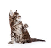 Playful maine coon kitten. isolated on white background Royalty Free Stock Photography