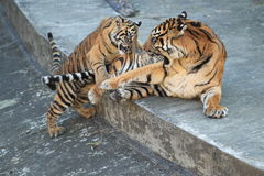 Playful malayan tiger Stock Photos