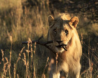 Playful male lion carrying stick. Playful young lion carrying a wooden stick in his mouth stock images