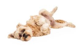 Playful Maltese And Poodle Mix Dog Laying Stock Photos