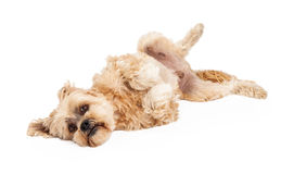 Playful Maltese and Poodle Mix Dog Laying Stock Photos