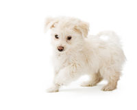 Playful Maltese Puppy Running. Playful cute little puppy running on white studio background Royalty Free Stock Photos