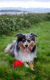 Playful miniature Australian shepard Royalty Free Stock Image