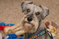 Playful miniature schnauzer dog indoors. Gray salt and pepper miniature schnauzer dog in front of a pile of dog toys indoors stock photo