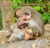 A Playful Mischievous Young Bonnet Macaque - Indian Monkey - with Parents - Family with Mother, Father. This is a photograph of a playful and mischievous young Stock Image