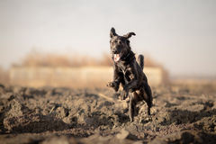 Playful mixed breed dog running Royalty Free Stock Images