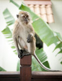 Playful Monkey Royalty Free Stock Photo