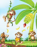 Playful monkeys near the banana plant Royalty Free Stock Images