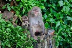 Playful monkeys Stock Image
