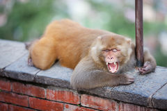Playful monkeys Royalty Free Stock Image