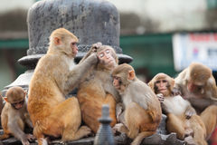 Playful monkeys Royalty Free Stock Photography