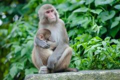 Playful monkeys. Near Swayambunath temple Royalty Free Stock Images