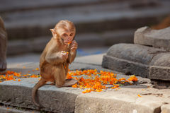 Playful monkeys. Near Swayambunath temple royalty free stock images