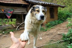 Playful Mountain dog extending his paws Royalty Free Stock Images