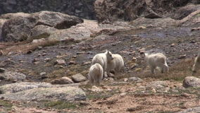 Playful Mountain Goat Kids in the High Country. Playful ountain goat kids in the Colorado high country stock video