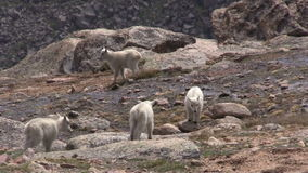 Playful Mountain Goat Kids. Playful ountain goat kids in the Colorado high country stock video