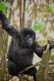 Playful Mountain Gorilla in Rwanda royalty free stock photography