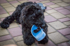 Playful naughty puppy. Little puppy dog giant Schnauzer playing in the yard with slippers Royalty Free Stock Photography