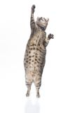 Playful obese tabby cat. Isolated on white background royalty free stock images