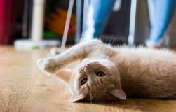 A playful orange, adult kitty rolls onto her back to keep an eye on her favorite toy. royalty free stock image
