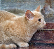 Playful orange cat Stock Image