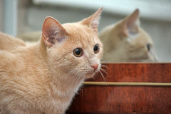 Playful orange cat Stock Photography