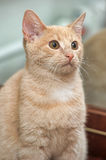 Playful orange cat Royalty Free Stock Images