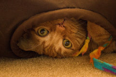 Playful orange kitty in a tunnel. Playful orange tabby upside down in a tunnel, clutching his toy Stock Image