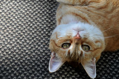 Playful Orange Tabby  Cat Royalty Free Stock Images