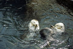 Playful Otters. Otters playing in the water Royalty Free Stock Photo