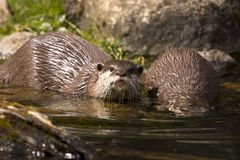 Playful otters at riverbank. Two otters taking a dip in river water Stock Photography