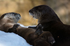 Playful Otters. Two sea otters playing in the snow Royalty Free Stock Image