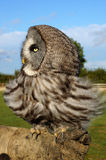 Playful Owl. An owl sitting on a falconer's hand Royalty Free Stock Image