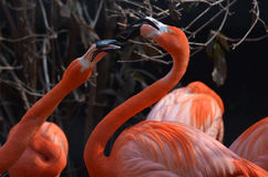Playful Pair of Greater Flamingos Royalty Free Stock Photography