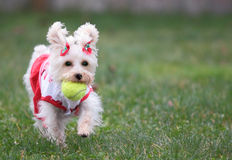 Playful Pampered Pooch Stock Images