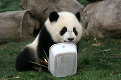 Playful Panda. A panda playing with a plastic container Stock Photo