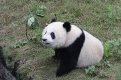 Playful Panda Cub in Chongqing, China Royalty Free Stock Images