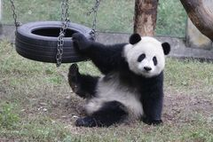 Playful Panda Cub In Chongqing, China Royalty Free Stock Image