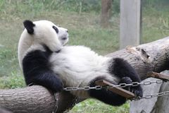 Playful Panda Cubs in Chongqing, China Royalty Free Stock Photography