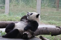 Playful Panda Cubs in Chongqing, China Stock Photography