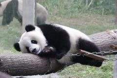 Playful Panda Cubs in Chongqing, China Royalty Free Stock Image
