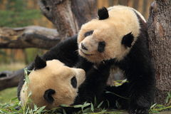 Playful pandas Royalty Free Stock Image