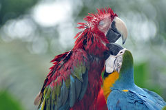 Playful Parrots Stock Photo